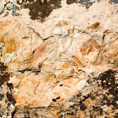 leaf-fossil-texture