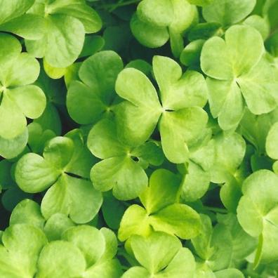 lt green clover texture