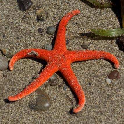 skinny red starfish shape