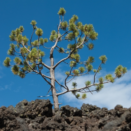 tiny tree shape