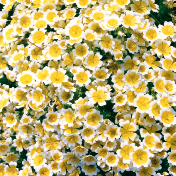 yellow and white flowers texture