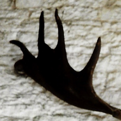 antler shape