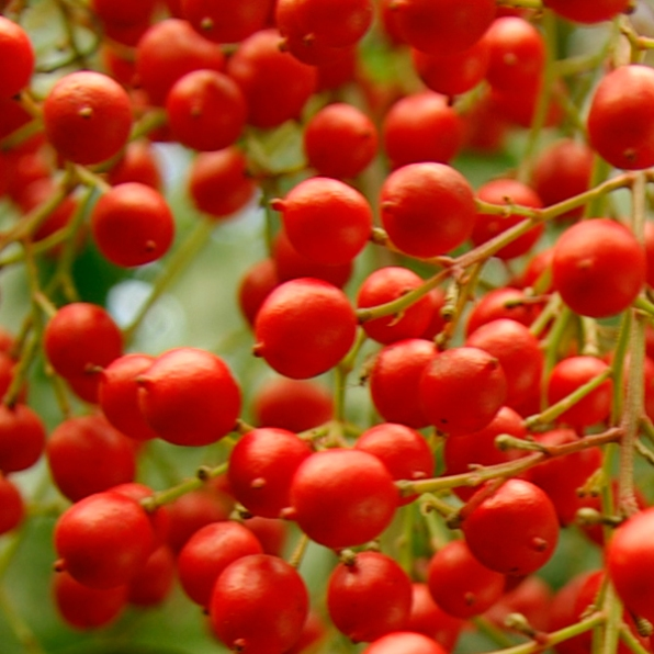 bright red berries texture