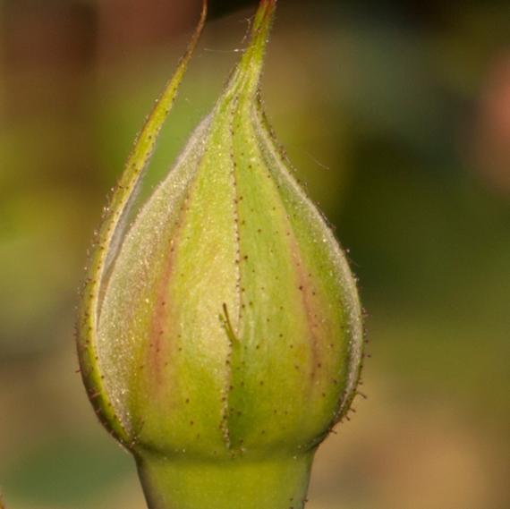 bud shape