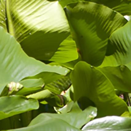 large leaves texture
