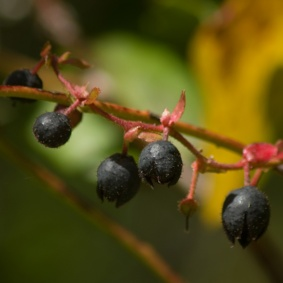 black-berries-on-twig-shape