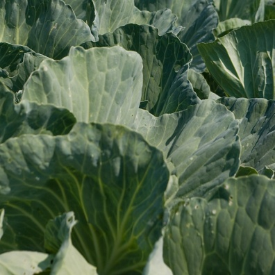 cabbage-texture
