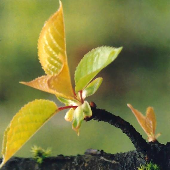 new-leaf-shape