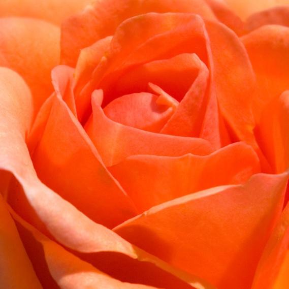 peach-rose-texture