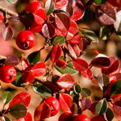 tiny-berries-and-leaves-texture