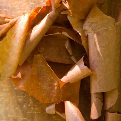 peelbark-texture