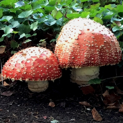 Amanita muscaria, commonly known as the fly agaric
