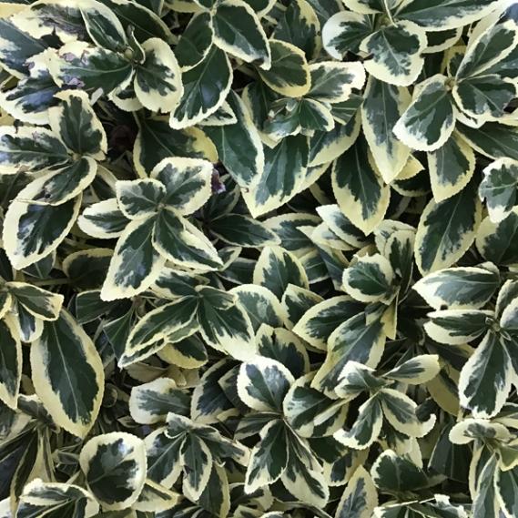variegated greenery
